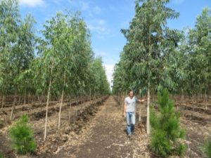 eukalyptus forstingenieur